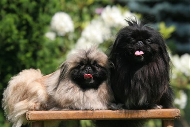 chiot pekinois vendre. Black Bedroom Furniture Sets. Home Design Ideas