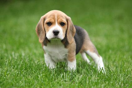 Chiots Beagle a vendre - Vente de chiots Beagle - Eleveur