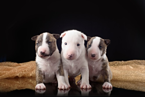 Chiots Bull Terrier A Vendre Vente De Chiots Bull Terrier Eleveur Bull Terrier Professionnel Paca