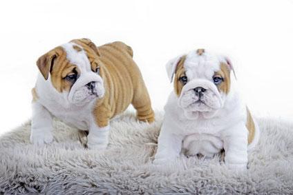 Bulldog Anglais A Vendre Desirderata