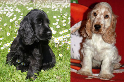 chiots cocker anglais  vendre vente de chiots cocker