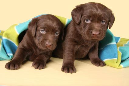 Chiots Labrador Chocolat A Vendre Vente De Chiots Labrador Chocolat Eleveur Labrador Chocolat Professionnel Paca