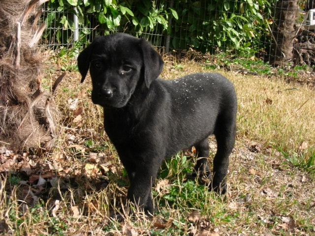 Labrador de travail a vendre