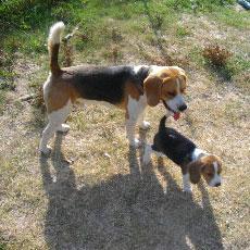 t moignage client france chiots chien beagle acheter au. Black Bedroom Furniture Sets. Home Design Ideas