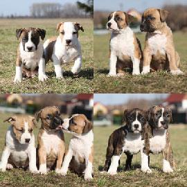 Chiots American Staff A Vendre Vente De Chiots American Staffordshire Terrier Eleveur American Staff Professionnel Paca