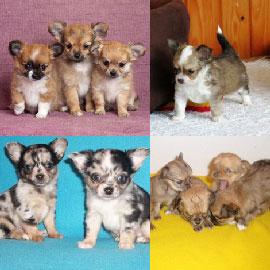 Chiots Chihuahua Poil Long A Vendre Vente De Chiots Chihuahua Poil Long Eleveur Chihuahua Poil Long Professionnel Paca