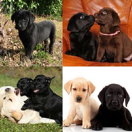 chiots labrador noir a vendre vente de chiots labrador noir eleveur labrador noir. Black Bedroom Furniture Sets. Home Design Ideas