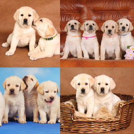 Chiots Labrador Sable A Vendre Vente De Chiots Labrador Sable Eleveur Labrador Sable Professionnel Paca