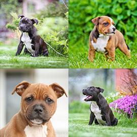 Chiots Staffie A Vendre Vente De Chiots Staffordshire Bull Terrier Eleveur Staffie Professionnel Paca